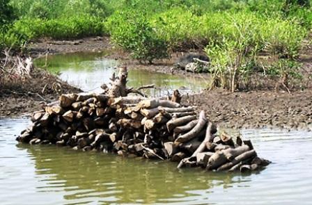 Hutan Mangrove Bengkalis Dibabat, Kayunya Dijual untuk Modal Tambak Udang
