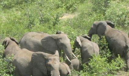 Tahura SSH Pekanbaru Dirusak Pengusaha, Gajah Masuk Kota