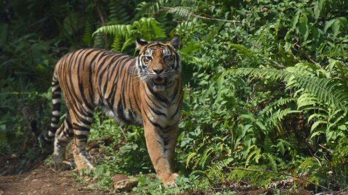 Harimau Sumatra Kembali Memakan Korban Di Palas