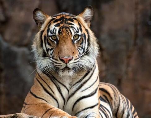 Tewas Diterkam Harimau Saat Mendulang Emas di Hutan Adat