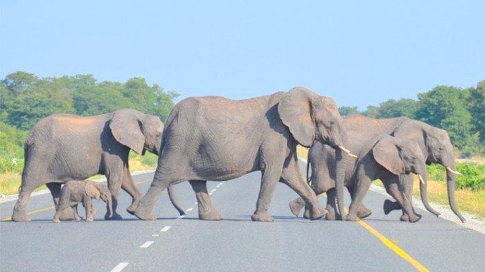 Underpass Lintasan Gajah Tol Pekanbaru-Dumai Telah Disiapkan