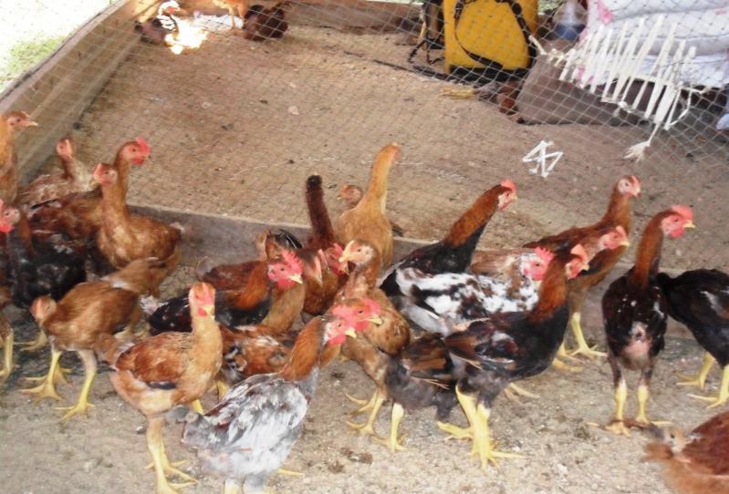 Digoreng Politisi Harga Ayam Ikut Naik