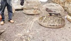 Judi Sabung Ayam di Bolaang Mongondow Raya Semakin Marak Dibelakang Oknum