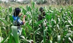 110 Hektare Akan Ditanami Jagung, Ini Pesan Kadis Pertanian Asahan