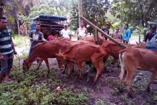 Mantap, Kelompok Petani Pelalawan Dapat Sapi Bantuan dari Anggota DPRD Riau
